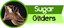 tit sugargliders